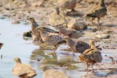 Flock of Feathers - Sandgrouse, Namaqua Royalty Free Stock Photography