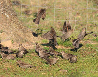 Flock of female red-winged black birds Stock Photography