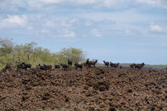 Flock of feral goats Royalty Free Stock Photos