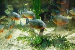 Flock of ferocious red-bellied piranhas. Flock of ferocious red-bellied piranhas behind the glass in the oceanarium Royalty Free Stock Image