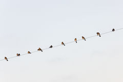 Flock of fieldfares Royalty Free Stock Image