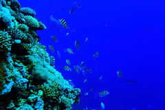 Flock of fish on  coral reef Stock Image