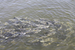 Flock  of fish Royalty Free Stock Image