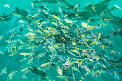 A flock of fish in sea water. A lot of colorful fish on the background of the sea stock photo