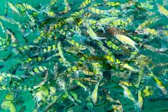 A flock of fish in sea water. A lot of colorful fish on the background of the sea. Front focus, top view royalty free stock photo