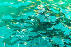 A flock of fish in sea water. Many colorful fish on the background of the sea. stock image