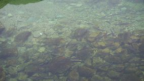 Flock of fish in shallow water.  stock footage