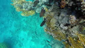 A flock of fish swims near the reef in search of food stock video footage