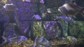 Flock of fish swims in the sea water of the aquarium. diversity of marine life stock video footage