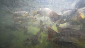 A flock of fish in troubled waters. A flock of freshwater fish in muddy water pond eats bread crumbs stock video footage