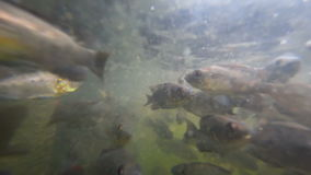 A flock of fish in troubled waters. A flock of freshwater fish in muddy water pond eats bread crumbs stock footage