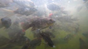 A flock of fish in troubled waters. A flock of freshwater fish in muddy water pond eats bread crumbs stock video