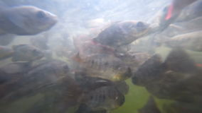 A flock of fish in troubled waters. A flock of freshwater fish and shrimp in muddy water pond eats bread crumbs stock video footage