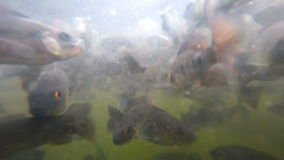 A flock of fish in troubled waters. A flock of freshwater fish and shrimp in muddy water pond eats bread crumbs stock footage