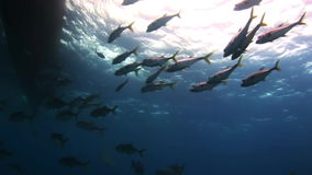 Flock of fish under the sea in search of food. Amazing, beautiful underwater world Bahamas and the life of its inhabitants, creatures and diving, travels with stock footage