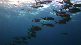 Flock of fish under the sea in search of food. Amazing, beautiful underwater world Bahamas and the life of its inhabitants, creatures and diving, travels with stock video