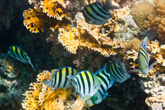 Flock of fishes Indo-pacific sergeant is underwater Royalty Free Stock Photos