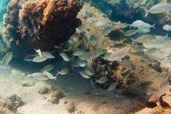 Flock of fishes is on the seabed Royalty Free Stock Photo