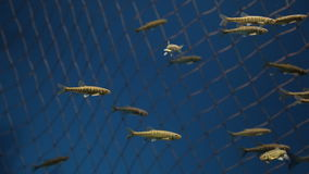 Flock of fishes slowly swims in reservoir with water. Their golden scale shines brightly under artificial light from lamps. These creatures looks like painted stock video
