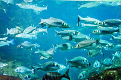 A flock of fishes Royalty Free Stock Photos