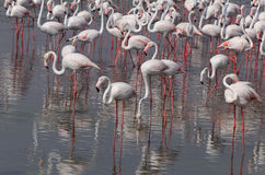 Flock of flamingo Royalty Free Stock Images