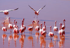 Flock Of Flamingoes. Wading in water in altiplano in Bolivia Stock Photos