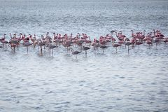 Flock of flamingoes stock photography