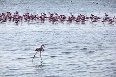 Flock of flamingoes stock photo