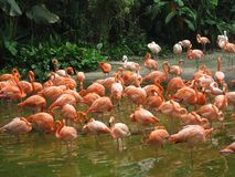 Flock of flamingoes at Jurong Birds Park. Picture of a flock of flamingoes feeding in a lake at the Jurong Birds Park in Singapore Stock Images
