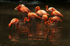 Flock of flamingos Stock Images