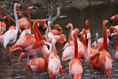 Flock of flamingos Stock Photo