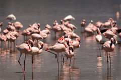 Flock of flamingos Stock Photos