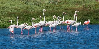 Flock of Flamingos in Body of Water royalty free stock photos