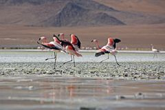 Flock of flamingos Bolivia Stock Photo