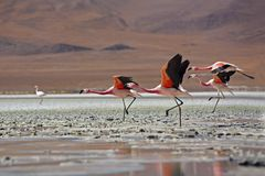 Flock of flamingos Bolivia Stock Image