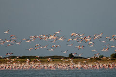 A flock of Flamingos,  in flight. Royalty Free Stock Photo