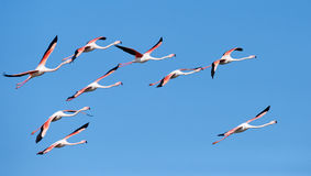 Flock of flamingos in flight Royalty Free Stock Image