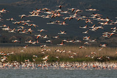 A flock of Flamingos,  in flight. Royalty Free Stock Photos