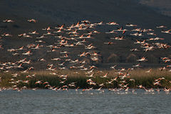 A flock of Flamingos,  in flight. Stock Photo