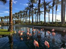 A flock of flamingos hanging out in a luxurious fountain at a fancy golf and resort in Palm Springs, California stock image