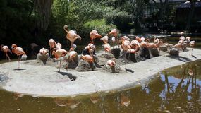 A flock of Flamingos on the island in the wild. Royalty Free Stock Images