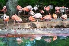 Flock of flamingos Royalty Free Stock Photos