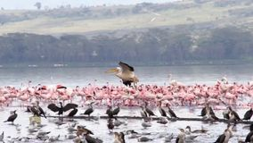 Flock of flamingos at Lake Nakuru stock video footage