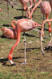 A Flock of Flamingos Peck the Ground Together Royalty Free Stock Images
