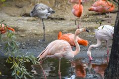A flock of flamingos in the pond of the Moscow Zoo royalty free stock photography