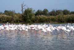 Flock of Flamingos Royalty Free Stock Photography