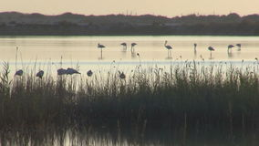 Flock of flamingos stock footage