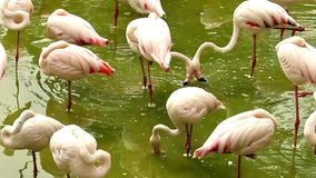 Flock of flamingos standing in pond with dirty water stock video