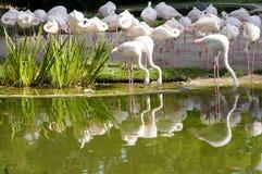 Flock of Flamingos Royalty Free Stock Image