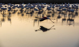 Flock of Flamingos at sunset in the Camargue , France Stock Photos